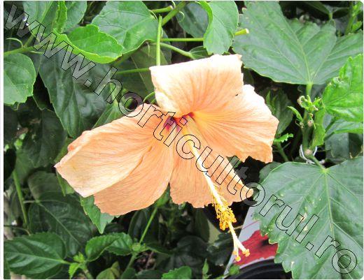 Hibiscus-rosa-sinensis-galben