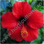 Trandafirul japonez sau chinezesc_1