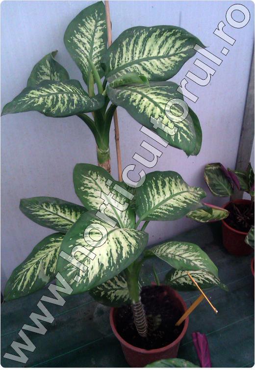 Dieffenbachia ingrijire inmultire udare fertilizare for Plante de interior