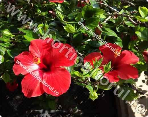 trandafir japonez-rosu