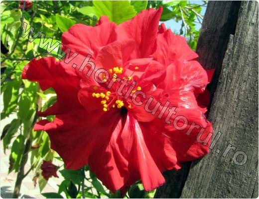 trandafir-japonez_rosu_batut