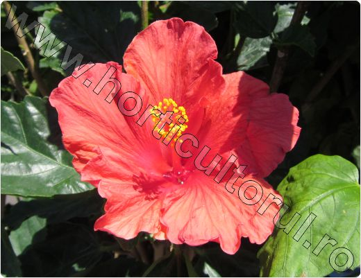 Hibiscus-rosa-sinensis-Passionate-Kiss