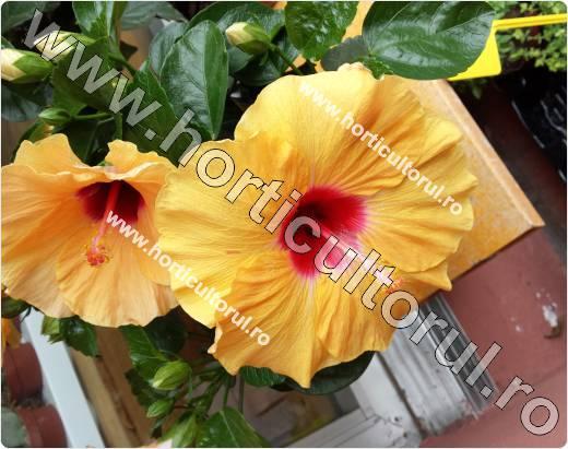trandafirul japonez-galben-trompeta
