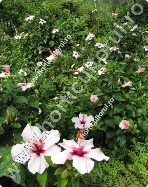 trandafirul japonez-hibiscus-roz