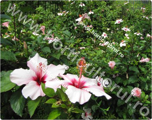 trandafirul japonez-hibiscus