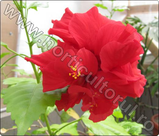 trandafirul japonez_hibiscus rosa sinensis_1