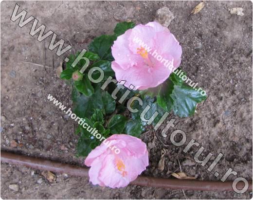 trandafirul japonez_lila