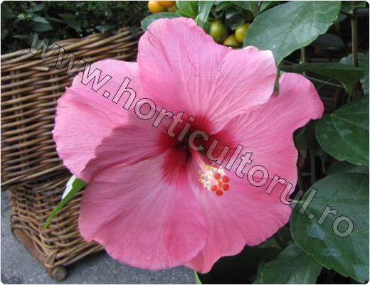 trandafirul japonez_roz_floare gigant_peste 20 cm