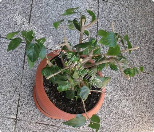 Fig. 2 Taierea trandafirului japonez (februarie-martie)