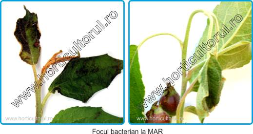 Focul bacterian (Erwinia amylovora) la Mar