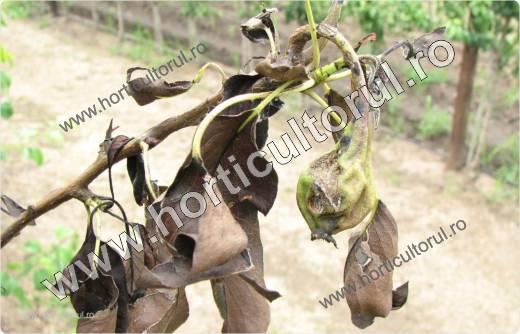 Focul bacterian (Erwinia amylovora) la Par