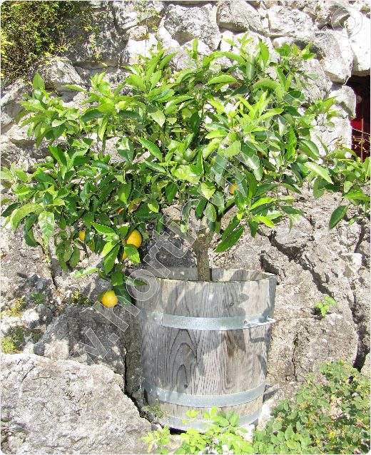 Lamaiul_Lamaia_Citrus limon_ 'Meyer Lemon'_1