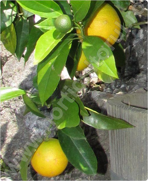 Lamaiul_Lamaia_Citrus limon_ 'Meyer Lemon'_2
