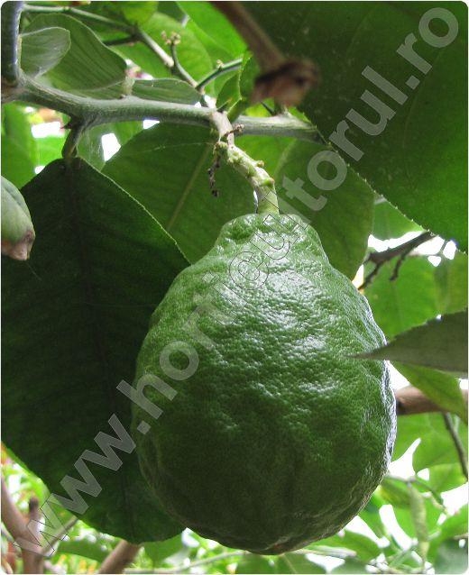 Lamaiul_Lamaia_Citrus limon_1