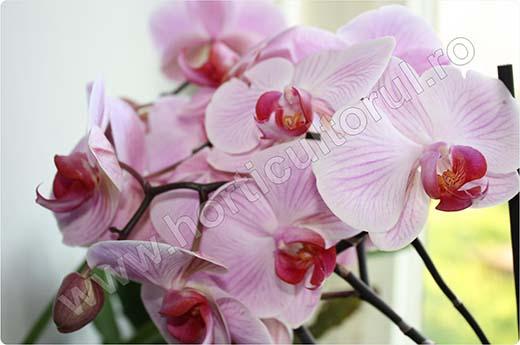 Orhidee Ingrijire Inmultire Udare Fertilizare