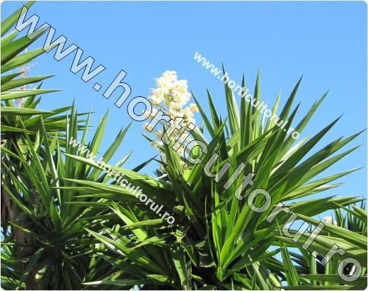 Fig. 1  Yucca de apartament (Yucca elephantipes)