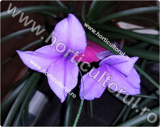 "Fig. 3 TILLANDSIA sau ""PANA ROZ"" (Tillandsia cyanea)"
