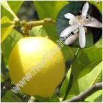 lamai-citrus limon
