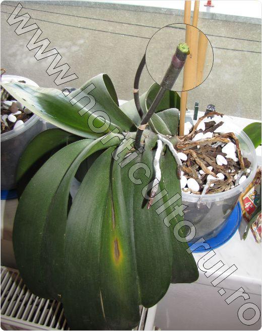 orhidee_inmultire