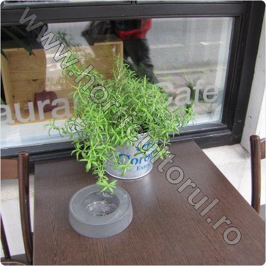 rozmarin_plantare_ingrijire_cultivare_rozmarinul iarna_2
