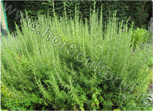 rozmarin_plantare_ingrijire_cultivare_rozmarinul iarna_3
