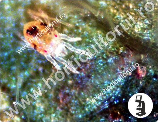 Acarienii-tetranychus-urticae_2