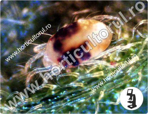 Acarienii-tetranychus-urticae_femela