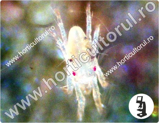 Acarienii-tetranychus-urticae_mascul