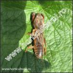 Coropisnita-insecta