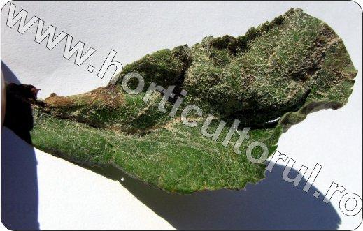 Fainarea-la-mar-Podosphaera-leucotricha_boli-la-mar_pomi.jpg
