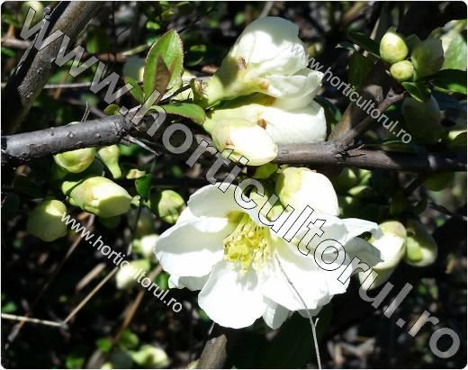 Fig. 10   Gutui japonez (Chaenomeles spp.)