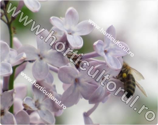 Liliacul_Syringa vulgaris-planta melifera-albina