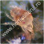 Paianjeni plante-acarieni_150