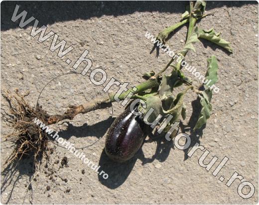 Coropisnita (Gryllotalpa gryllotalpa)