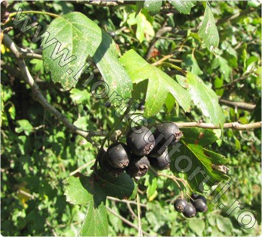 paducel fructe_negre_Crataegus_pentagyna