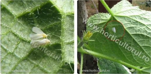 Fig. 2 Musculita alba de sera (Aleyrodes vaporariorum) pe castravete