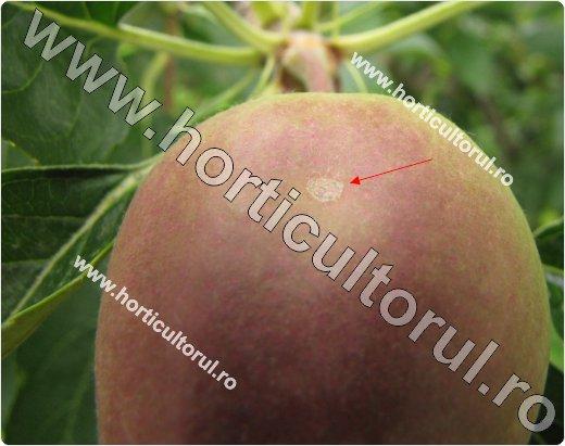 Rapanul Marului-atac incipient pe fruct