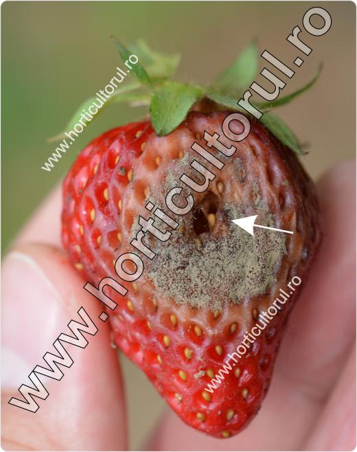 Deroceras agreste & Botrytis - capsuna