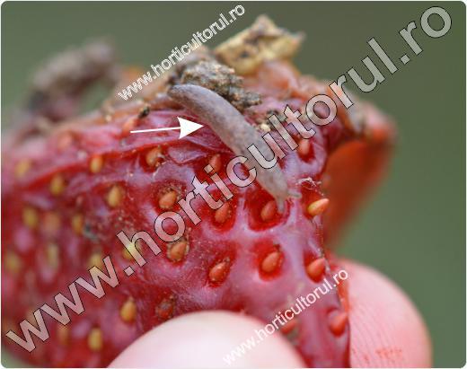 Limaxul cenusiu-Deroceras agreste-capsun
