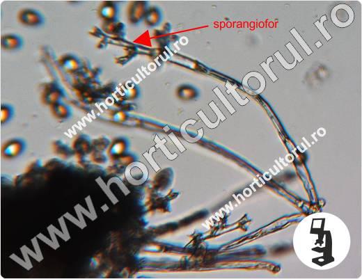 Fig. 4 Mana la vitei de vie (Plasmopara viticola)