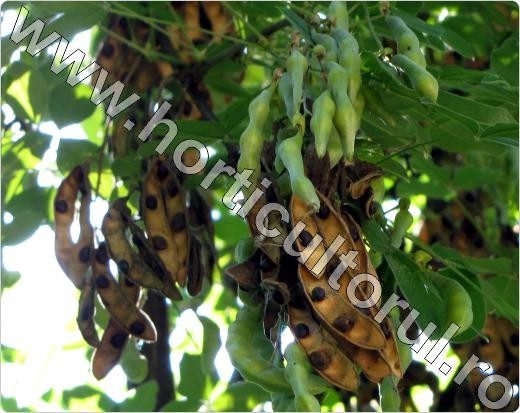 salcamul galben_seminte_Laburnum anagyroides