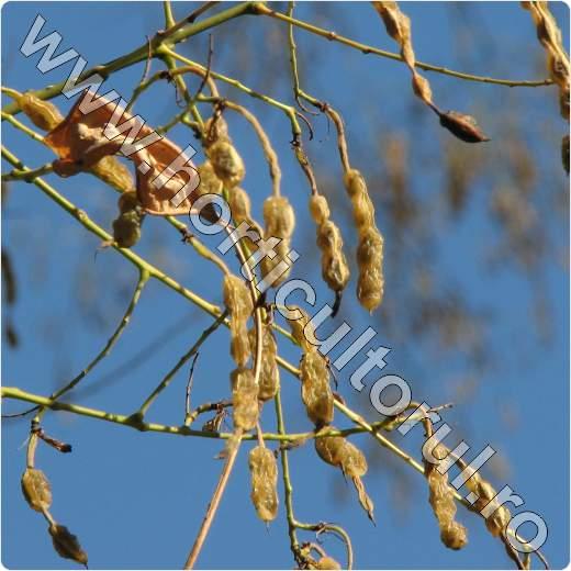 Fig. 5 Fructificatii iarna de Salcam japonez (Sophora japonica)
