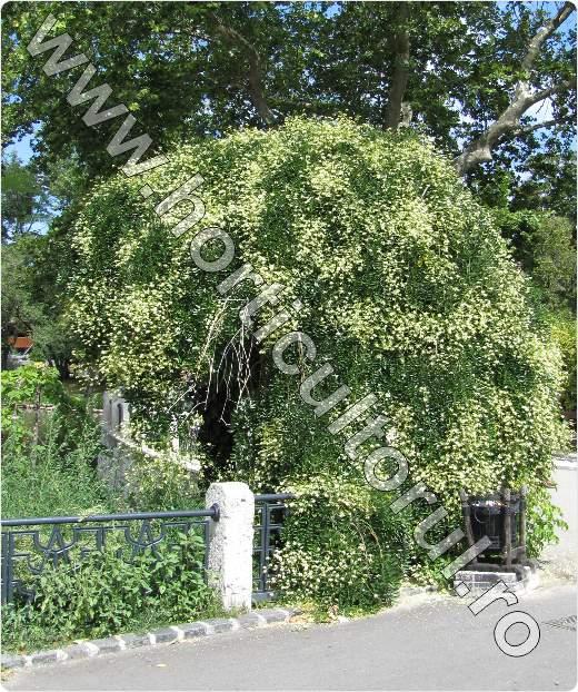 salcamul japonez_inflorit_pendul_Sophora japonica Pendula