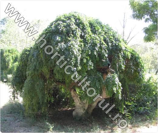 salcamul japonez_pendul_Sophora japonica Pendula