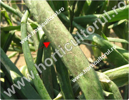 mana la ceapa-Peronospora destructor