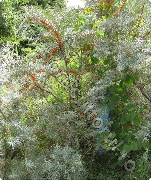 Pom-Catina-alba-cultivare-inmultire-culturi