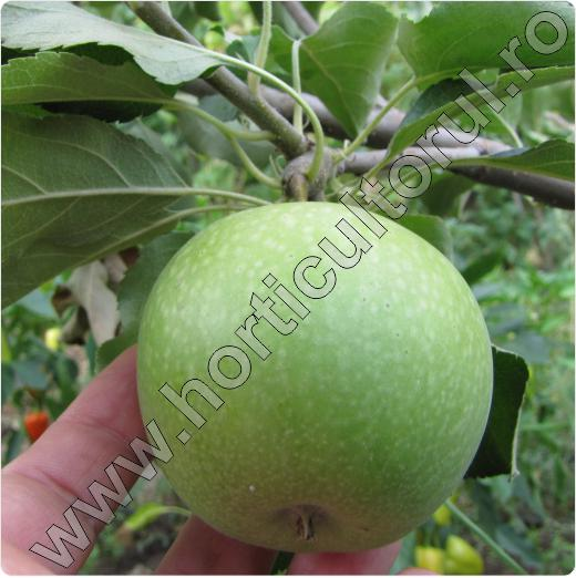 Soi de mar-Granny Smith-apple