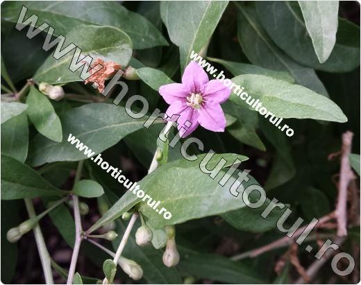 Fig. 6  Catina de gard sau Gardurarita (Lycium halimifolium),