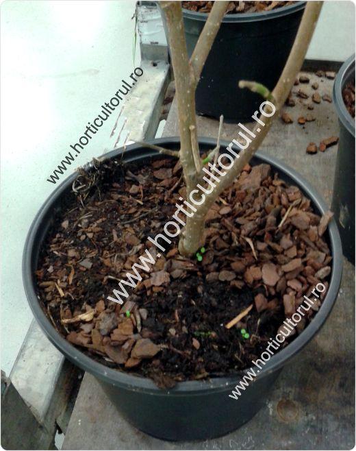 Fig. 1 Plantarea pomilor crescuti la ghiveci/container