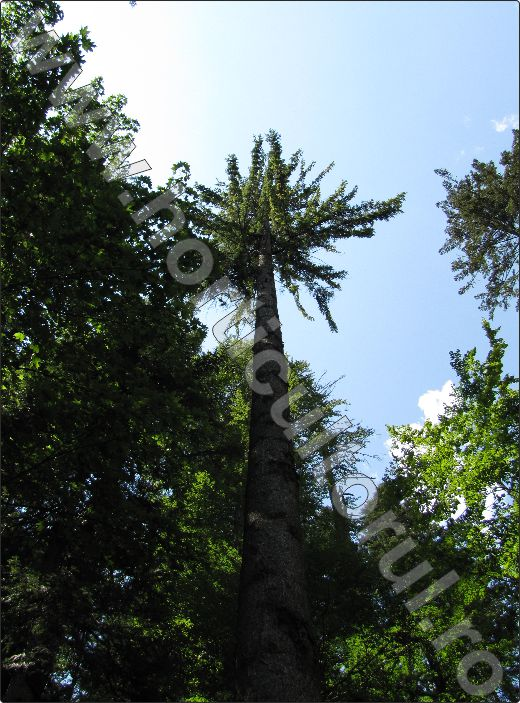 Arbore-ornamental-Molid
